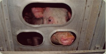 transport pig