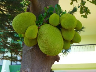 Jackfruit growing on tree
