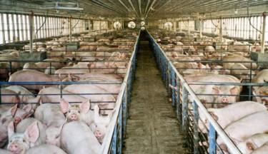 Pig factory